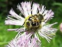 Carrion Beetle?? - Trichiotinus assimilis - female