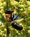 Bee [Megachile? sculpturalis??] ID Request - Megachile sculpturalis - male