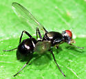 Meroplius minutus (black scavenger fly) - female