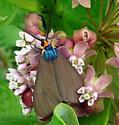 8262     Virginia Ctenucha     (Ctenucha virginica) - Ctenucha virginica - male