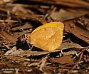Sleepy Orange - winter form - Abaeis nicippe