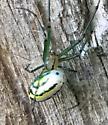 Watermelon looking spider  - Leucauge venusta