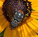 fly on black-eyed susan - Peleteria haemorrhoa