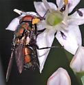 Fly - Lucilia sericata