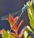 Amber-winged Spreadwing in Kouchibouguac National Park - Lestes eurinus - male