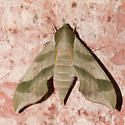 Virginia Creeper Sphinx - Darapsa myron