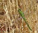 which Dragonfly ? - Erythemis collocata - male