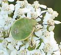 Bug nymph - Chlorochroa