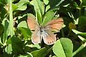 Lycaenidae sp. - Brephidium exile