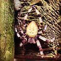 Spider at the farm - Araneus trifolium