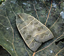Ipimorpha pleonectusa