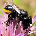 Bee on Knapweed 3 - Osmia