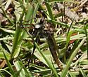 Robberfly Asilidae