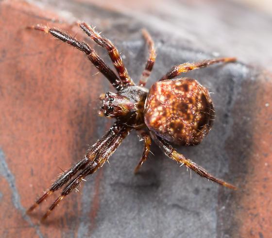 Small Spider - Gea heptagon - female