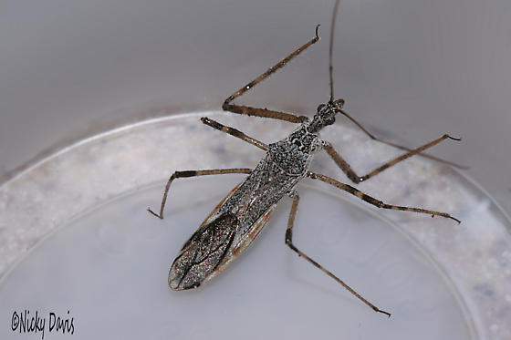 Mantid Maybe - Zelus tetracanthus