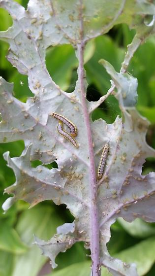 Caterpillar - Evergestis rimosalis
