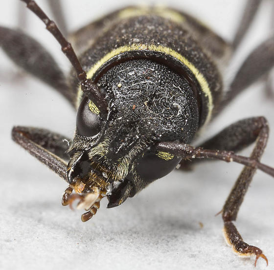 Long-horned Beetle - Xylotrechus