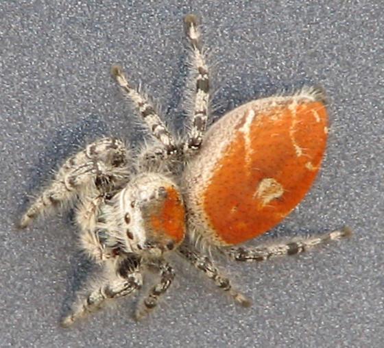 Orange and Grey Spider - Phidippus adumbratus
