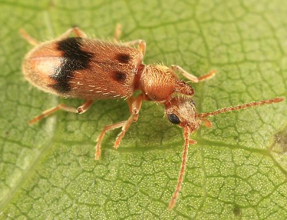 Antlike Flower Beetle - Notoxus desertus