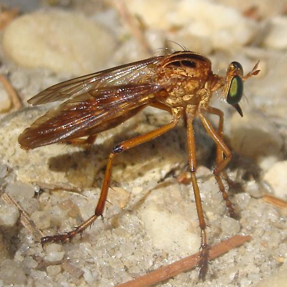 Hanging-thief - Diogmites neoternatus