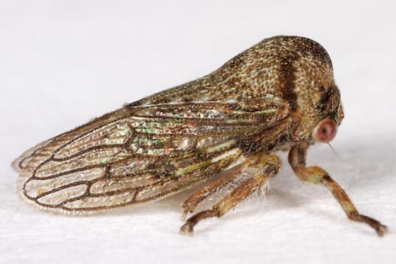 unknown Hemipteran - Platycotis