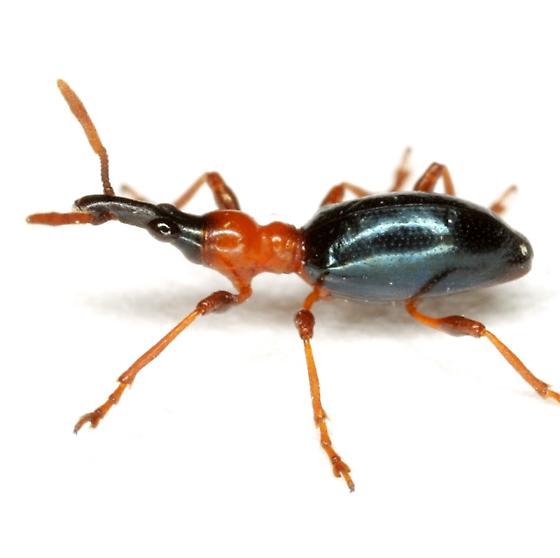 Cylas formicarius (Fabricius) - Cylas formicarius