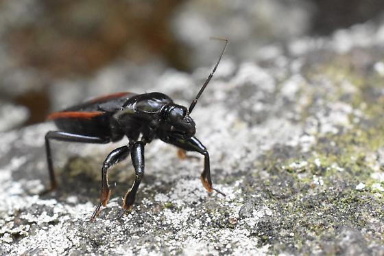 Hemipteran in PA - Melanolestes picipes