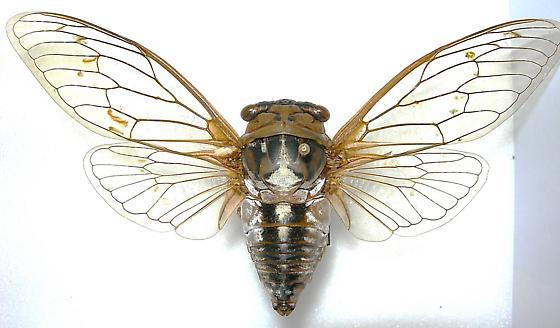 Tibicen dealbatus (MALE) - Megatibicen dealbatus - male