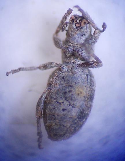 Weevil 7 - Minyomerus microps