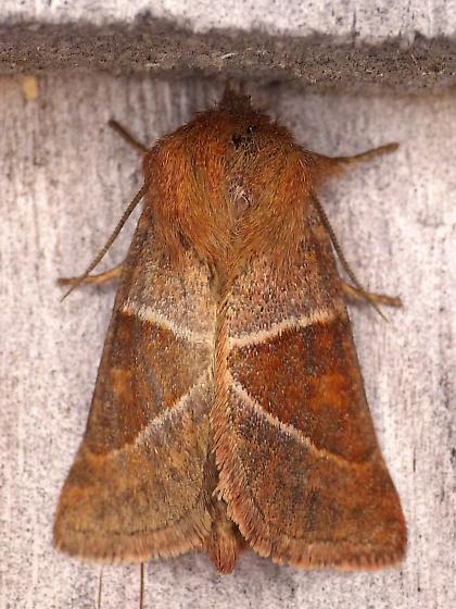Fingered Lemmeria Moth - Lemmeria digitalis