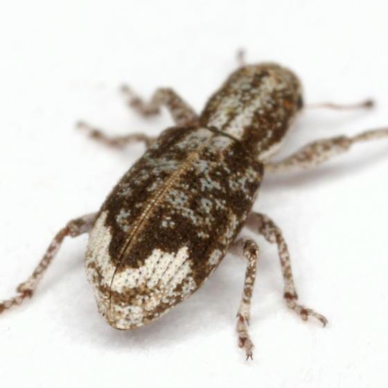 Pandeleteinus lucidillus Howden - Pandeleteinus lucidillus
