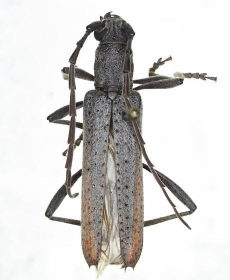 Cerambycidae - Aneflus prolixus