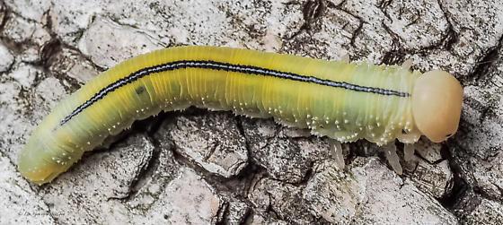 Hymenoptera. Tenthredinidae. - Cimbex americana
