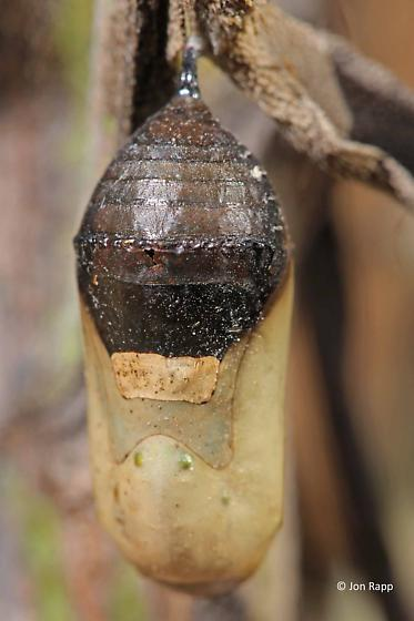 parasitized Monarch pupa/chrysalis - Danaus plexippus