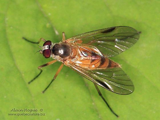 Fly - Rhagio lineola - female