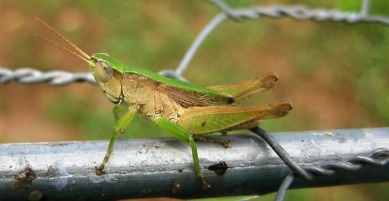 Unknown Acrididae - Dichromorpha viridis - male