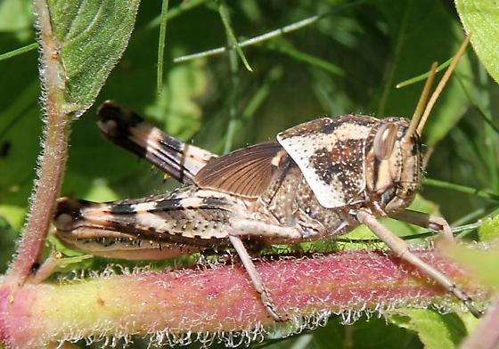 Unknown grasshopper on Pineapple Sage............any ID? - Schistocerca nitens