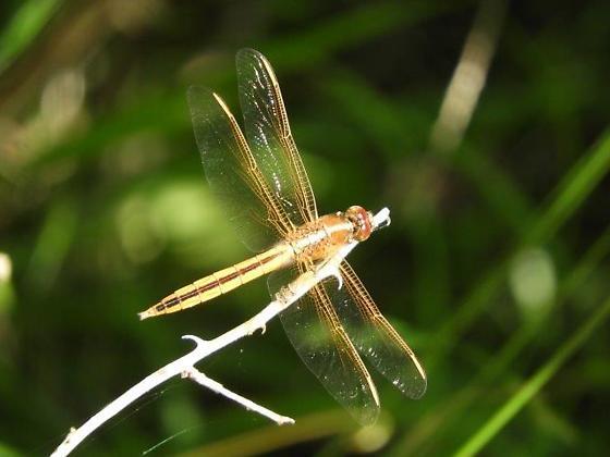 dragonfly2 - Libellula