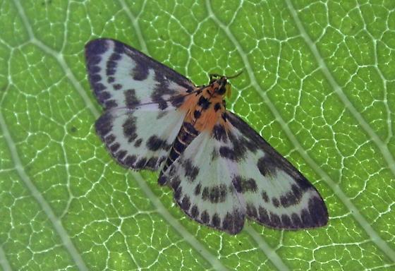 moth on milkweed - Anania hortulata