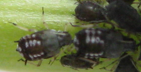 Friends of aphids - Aphis fabae