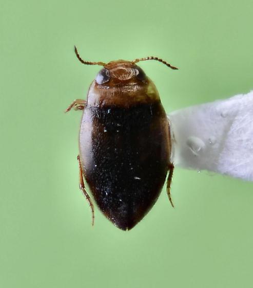 Noteridae ? - Uvarus