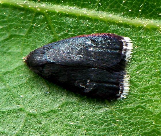 Unknown Moth - Menesta tortriciformella