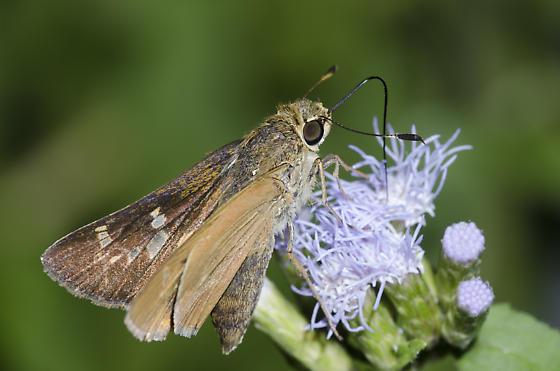 Common Mellana - Quasimellana eulogius - female