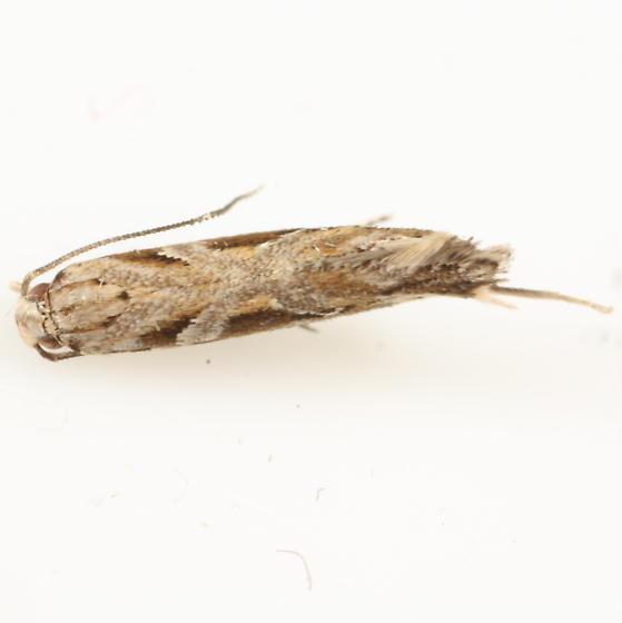 Baccharis halimifolia leaftier - Aristotelia ivae