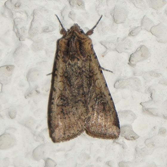 Pearly Underwing Moth (Peridroma saucia) - Peridroma saucia