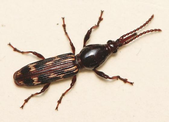 Oak Timberworm Beetle - Arrhenodes minutus - female