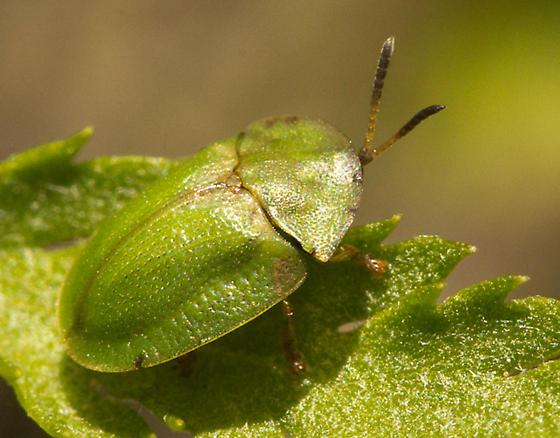 Thistle Tortoise Beetle? - Cassida rubiginosa