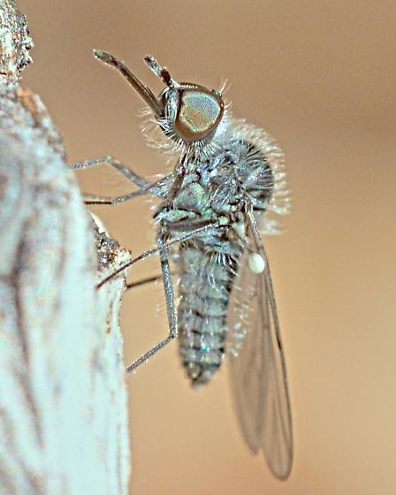 Bee Fly ~4mm - Apolysis