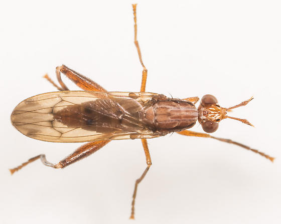 Marsh Fly - Sepedon tenuicornis