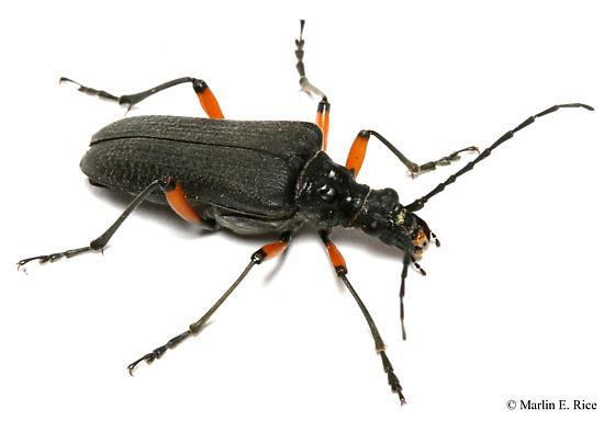 longhorned beetle - Stenocorus schaumii